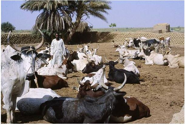 Cattle from Mali are mainly exported to neighboring countries