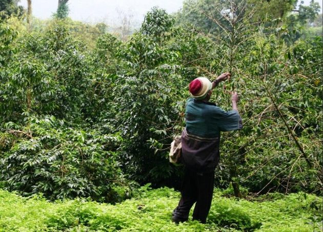 Coffee harvest in the forest