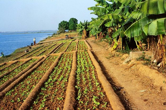 Irrigation cultivation on the Niger in the Segou region