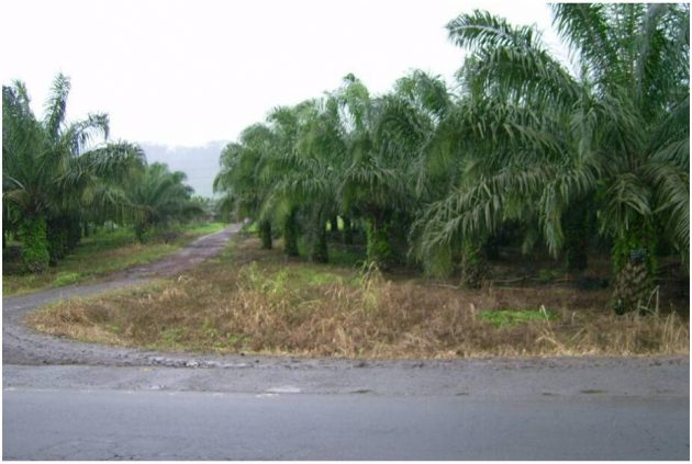 Oil palm plantation in the southwest