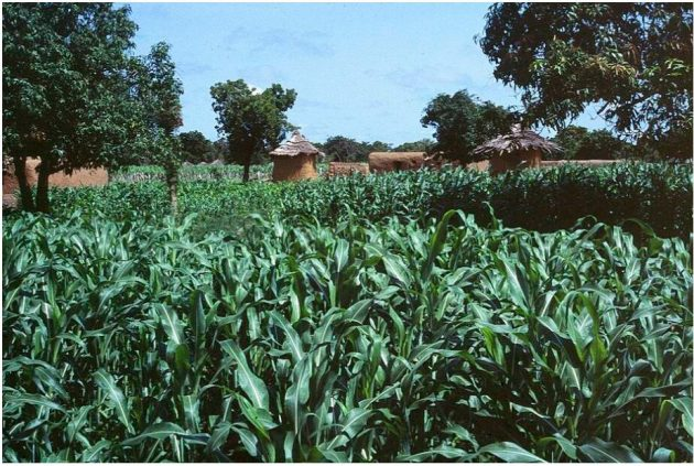 Rain farming in the Sikasso region