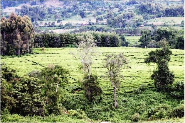 Tea plantation in the south of the country
