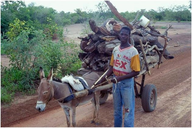 Transport of firewood with donkey